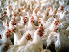 Работа в Польше на куриный завод